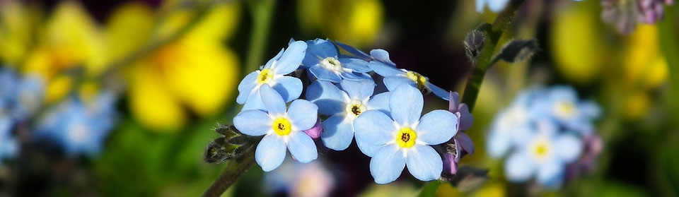 Image of forget-me-nots flower